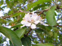 Bloem aan apleboom Royalty-vrije Stock Foto's