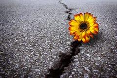 Bloem in asfalt Royalty-vrije Stock Foto