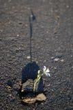 Bloem in asfalt Stock Fotografie