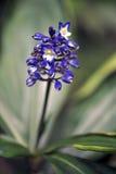 Bloem Blauwe gember Royalty-vrije Stock Foto's