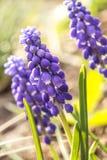 Bloem blauwe muscari Stock Afbeeldingen