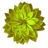 Bloem chartreuse gele die dahlia op witte achtergrond wordt geïsoleerd Close-up stock afbeelding