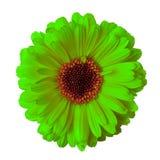 Bloem chartreuse kastanjebruine die calendula op een witte achtergrond wordt geïsoleerd close-up stock foto