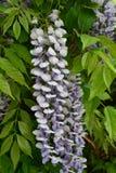Bloem, Chinese wisteria stock foto's