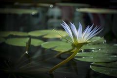 Bloem de blauwe van Nile Waterlily (Nymphaea Caerulea) Stock Foto's
