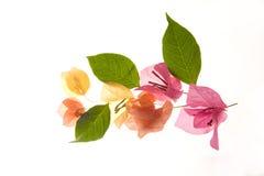 Bloem - de bloemblaadjes en de bladeren van Bougainvillea stock foto's