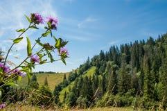 Bloem in de Karpaten royalty-vrije stock foto's