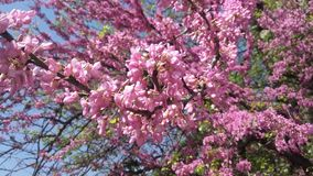 Bloem - de lente bloeiend fruit royalty-vrije stock foto