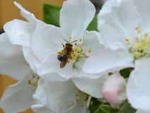 Bloem, de lente, bloesem, boom, aard, wit, appel, bloemen, bloei, tak, kers, tuin, het bloeien, installatie, groen, macro, schoon stock foto