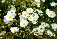 Bloem de witte van Rockrose (Cistus-hybridus) Royalty-vrije Stock Afbeeldingen