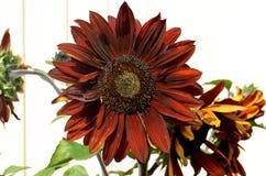 Bloem, de zomer, zonnebloem, aard, bladeren, bloemblaadjes, bloei, installaties, tuin, moestuin Stock Foto's