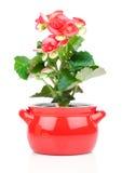 Bloem die in een pot, rode begonia bloeien Stock Afbeeldingen