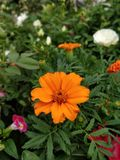 Bloem die in tuin bloeien Royalty-vrije Stock Foto's