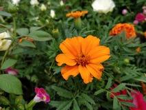 Bloem die in tuin bloeien Stock Afbeeldingen