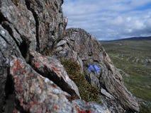 Bloem die zich sterk op berg Atoklinten in Hemavan, het Noorden van Zweden, Scandinavië bevinden Stock Afbeelding