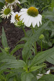 Bloem - Echinacea - Alaska Royalty-vrije Stock Foto