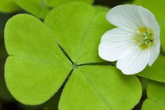 Bloem en blad van zuring, koekoek-bloem Stock Foto's