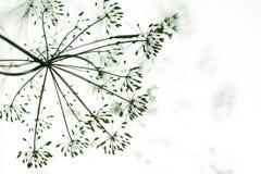 Bloem en dille de zaden van het installatieclose-up, die in de tuin groeien Royalty-vrije Stock Foto