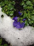 Bloem en sneeuw Stock Foto's