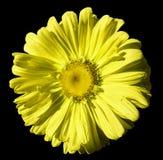 Bloem gele Kamille op zwarte geïsoleerde achtergrond met het knippen van weg Daisy geel met druppeltjes van water voor ontwerp cl Royalty-vrije Stock Fotografie