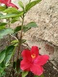 Bloem genoemd een Hawaiiaanse hibiscus royalty-vrije stock afbeelding