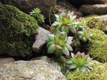 Bloem het ontgroeien van een steenmuur Stock Foto