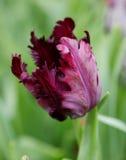 Bloem kastanjebruine tulpen met scherpe rand stock fotografie