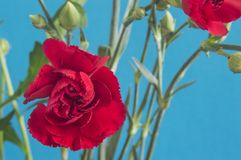 Bloem: Kruidnagelbloemen stock fotografie