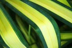 Bloem lang blad met geel en groen, Koningin van Dracaenas stock afbeeldingen