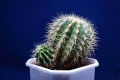 Cactus in een pot. Royalty-vrije Stock Fotografie