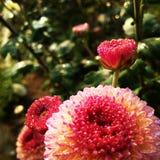bloem met regendaling Royalty-vrije Stock Afbeelding