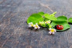 Bloem met Rode Dame Bug Clay stock fotografie