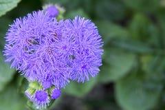Bloem met violette bloesem stock foto