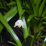 Bloem op bloeiend van de lentesneeuwvlok of leucojum vernumclose-up, selectieve nadruk, ondiepe DOF stock fotografie
