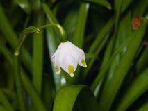 Bloem op bloeiend van de lentesneeuwvlok of leucojum vernumclose-up, selectieve nadruk, ondiepe DOF stock afbeelding