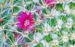 Bloem op een cactus royalty-vrije stock foto
