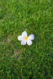 Bloem op gras Stock Fotografie