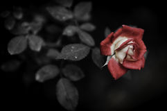 Bloem op zwart bloemontwerp Royalty-vrije Stock Foto
