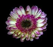 bloem op zwarte Stock Foto's