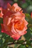 Bloem-oranje rozen groeien in Bett de Bloem in het-Park Stockfoto