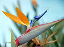 Bloem - Paradijsvogel Royalty-vrije Stock Foto