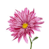 Bloem purpere chrysant Geïsoleerde Royalty-vrije Stock Afbeelding