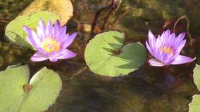Bloem purpere lotuses in de vijver stock videobeelden