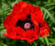 Bloem rode papaver Royalty-vrije Stock Afbeeldingen
