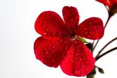 Bloem roze geranium Geïsoleerd op een witte achtergrond Close-up zonder schaduwen Stock Foto's