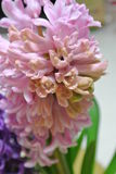 Bloem-roze hyacint Stock Foto