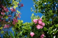 Bloem roze oleander op blauwe hemel, exemplaarruimte, achtergrond Stock Afbeeldingen