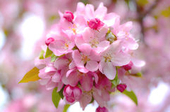 Bloem van appel Royalty-vrije Stock Foto's