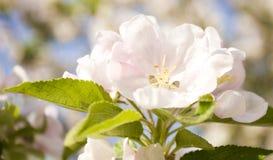 Bloem van appelboom stock foto