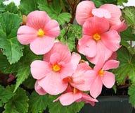 Bloem van begonia Stock Foto's